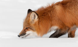 Red Fox (Vulpes vulpes) Lifts Head from Snow Stock Images