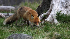 Red fox ( Vulpes vulpes ) Royalty Free Stock Images