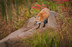 Red Fox  Vulpes vulpes Looks Down From Rock. Captive animal Stock Photos