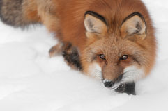 Red Fox (Vulpes vulpes) Looks Left Royalty Free Stock Photography