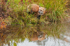 Red Fox (Vulpes vulpes) Looks Left with Reflection Stock Photography