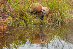 Red Fox (Vulpes vulpes) Looks Left with Reflection and Open Mout Stock Image
