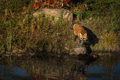 Red Fox Vulpes vulpes Looks Left From Rock. Captive animal Royalty Free Stock Photo