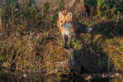 Red Fox (Vulpes vulpes) Looks Out Stock Image