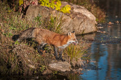 Red Fox Vulpes vulpes Looks Out at Water. Captive animal Royalty Free Stock Images