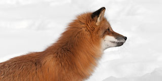 Red Fox (Vulpes vulpes) Looks Right Close Up Stock Images