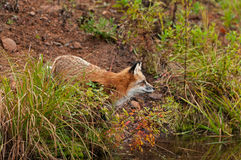 Red Fox ( Vulpes vulpes) Looks Right on Shore Stock Photography