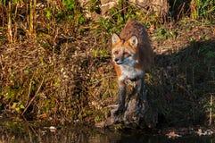 Red Fox Vulpes vulpes Looks Up on Shoreline Autumn. Captive animal royalty free stock image