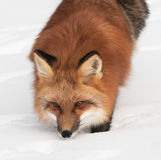 Red Fox (Vulpes vulpes) Looks Up from Snow Stock Photography