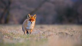 Red fox, vulpes vulpes, on a meadow at sunset. stock photos
