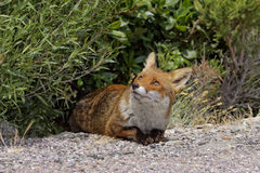 Red Fox (Vulpes vulpes) in the mountains of Corsica, France Royalty Free Stock Images