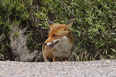 Red Fox (Vulpes vulpes) in the mountains of Corsica, France Stock Images
