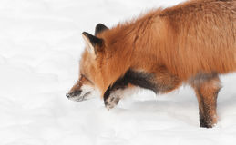 Red Fox (Vulpes vulpes) Moves Low Through the Snow Royalty Free Stock Photo