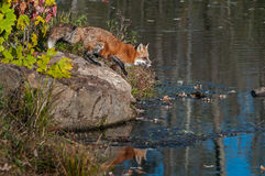 Red Fox Vulpes vulpes Moves to Step Off Rock Royalty Free Stock Photos