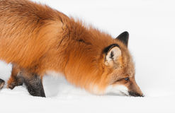 Red Fox (Vulpes vulpes) With Nose to the Snow Stock Photography