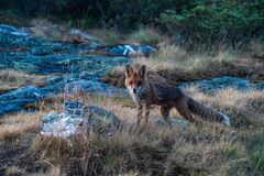 Red fox / vulpes vulpes outdoors in the wilderness during the the night in the arctic.