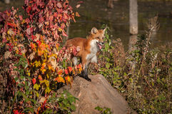 Red Fox Vulpes vulpes Pants on Rock. Captive animal Royalty Free Stock Image