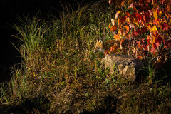 Red Fox Vulpes vulpes Peers Out From Grass. Captive animal Royalty Free Stock Photography