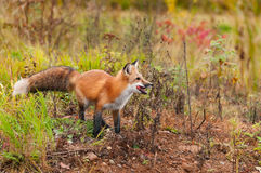 Red Fox  Vulpes vulpes With Piece of Meat. Captive animal Stock Image