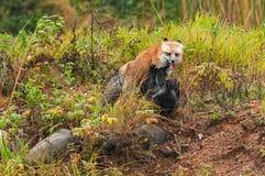 Red Fox (Vulpes vulpes) Pins Silver Fox Stock Image