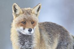 Red Fox Vulpes vulpes portrait. Under the snow taken in Cremenes León, Spain Royalty Free Stock Photo