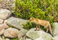 Red fox poses for a picture. Red fox Vulpes vulpes poses for a picture stock photos