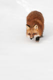 Red Fox (Vulpes vulpes) Prowl Copy Space Bottom Stock Images