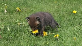 Red Fox, vulpes vulpes, Pup Eating Dandelion Flowers, Normandy in France,. Real Time stock footage