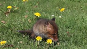 Red Fox, vulpes vulpes, Pup sitting in Meadow with Yellow Flowers, Looking around, Normandy in France,. Real time stock video