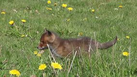 Red Fox, vulpes vulpes,  Pup Walking in Meadow with Yellow Flowers, Normandy in France, Real Time. Red Fox, vulpes vulpes, Pup Walking in Meadow with Yellow stock video footage