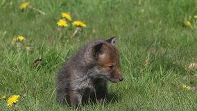 Red Fox, vulpes vulpes,  Pup Walking in Meadow with Yellow Flowers, Normandy in France, Real Time. Red Fox, vulpes vulpes, Pup Walking in Meadow with Yellow stock video