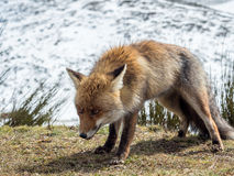 Red fox (Vulpes vulpes) ready to hunt Stock Images