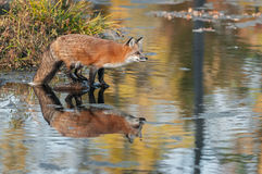 Red Fox (Vulpes vulpes) on Rock Leans Out Stock Images
