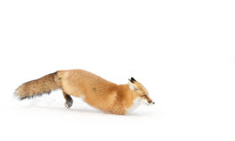 Red fox (Vulpes vulpes) with a bushy tail isolated on white background hunting in the freshly fallen snow in Algonquin. A Red fox (Vulpes vulpes&# stock photo