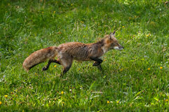 Red Fox (Vulpes vulpes) Runs Through Dewy Grass Stock Photo
