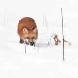 Red Fox (Vulpes vulpes) Runs Through Plants in Snow Royalty Free Stock Image