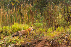 Red Fox (Vulpes vulpes) Runs Right Through Grasses Stock Image