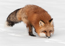 Red Fox (Vulpes vulpes) Runs Through Snow Stock Image