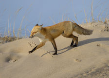 Red Fox. (Vulpes vulpes), on a sand dune, Island Beach tate Park, Ocean County, New Jersey Royalty Free Stock Photos