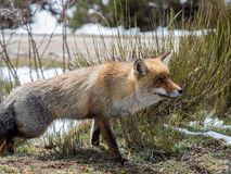 Red fox (Vulpes vulpes) showing Stock Image