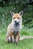 Red fox, Vulpes vulpes Royalty Free Stock Image