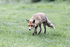 Red fox, Vulpes vulpes Royalty Free Stock Photo