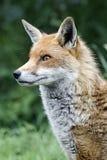 Red fox, Vulpes vulpes Stock Photo