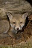Red fox, Vulpes vulpes Stock Image
