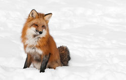 Red Fox (Vulpes vulpes) Sits Peacefully in Snow - Copy space rig Stock Photos