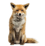 Red fox, Vulpes vulpes, sitting Royalty Free Stock Photography