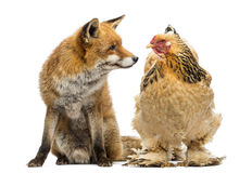 Red fox, Vulpes vulpes, sitting next to a Hen, looking at each Royalty Free Stock Images
