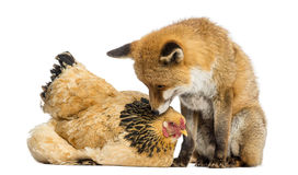 Red fox, Vulpes vulpes, sitting next to a Hen, lying Royalty Free Stock Image