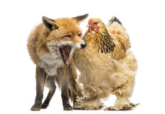 Red fox, Vulpes vulpes, sitting and yawning next to a Hen. Isolated on white Stock Photos