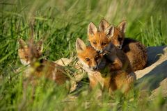 Red fox, vulpes vulpes, small young cubs near den curiously weatching around.